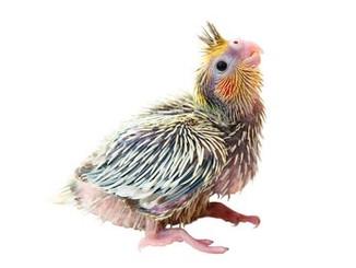 cockatiel-nymphicus-hollandicus-baby-bir