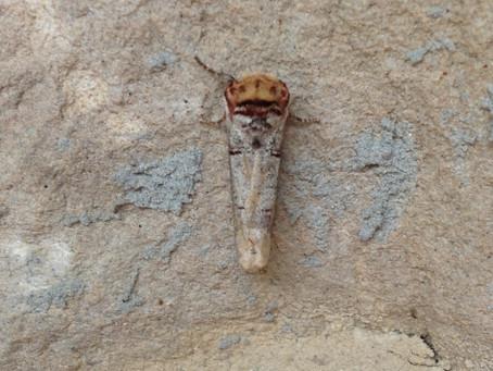 Polilla ramita – Phalera Bucephala