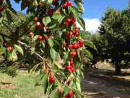 Recogiendo cerezas y cantando