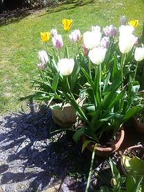 Rosemary Thomson's Pot of Tulips.jpg