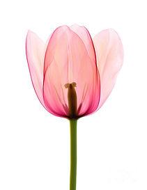 Ted Kinsman Pink Tulip