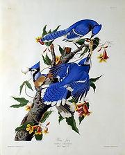 Audubon's Blue Jays