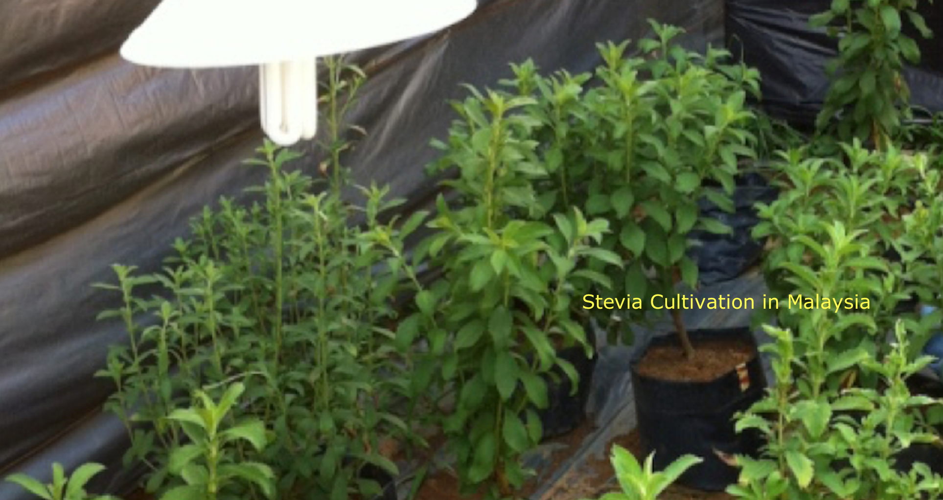 stevia planting iium 2 with label