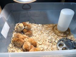 Baby Chicks at Belmont!