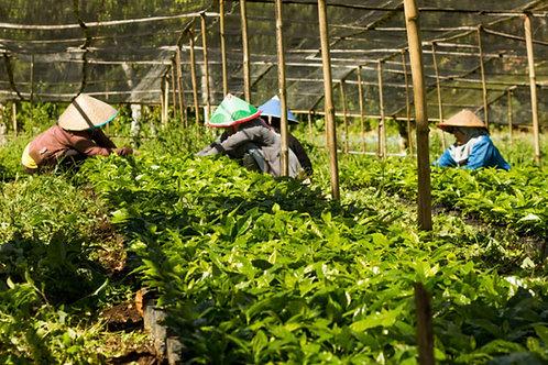 INDONESIA SUMATRA GAYO MOUNTAIN MANDHELING G1 TRIPLE PICKED