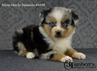 #4 Blue Merle Hündin