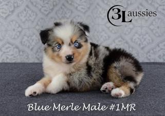 #1 Blue Merle Rüde