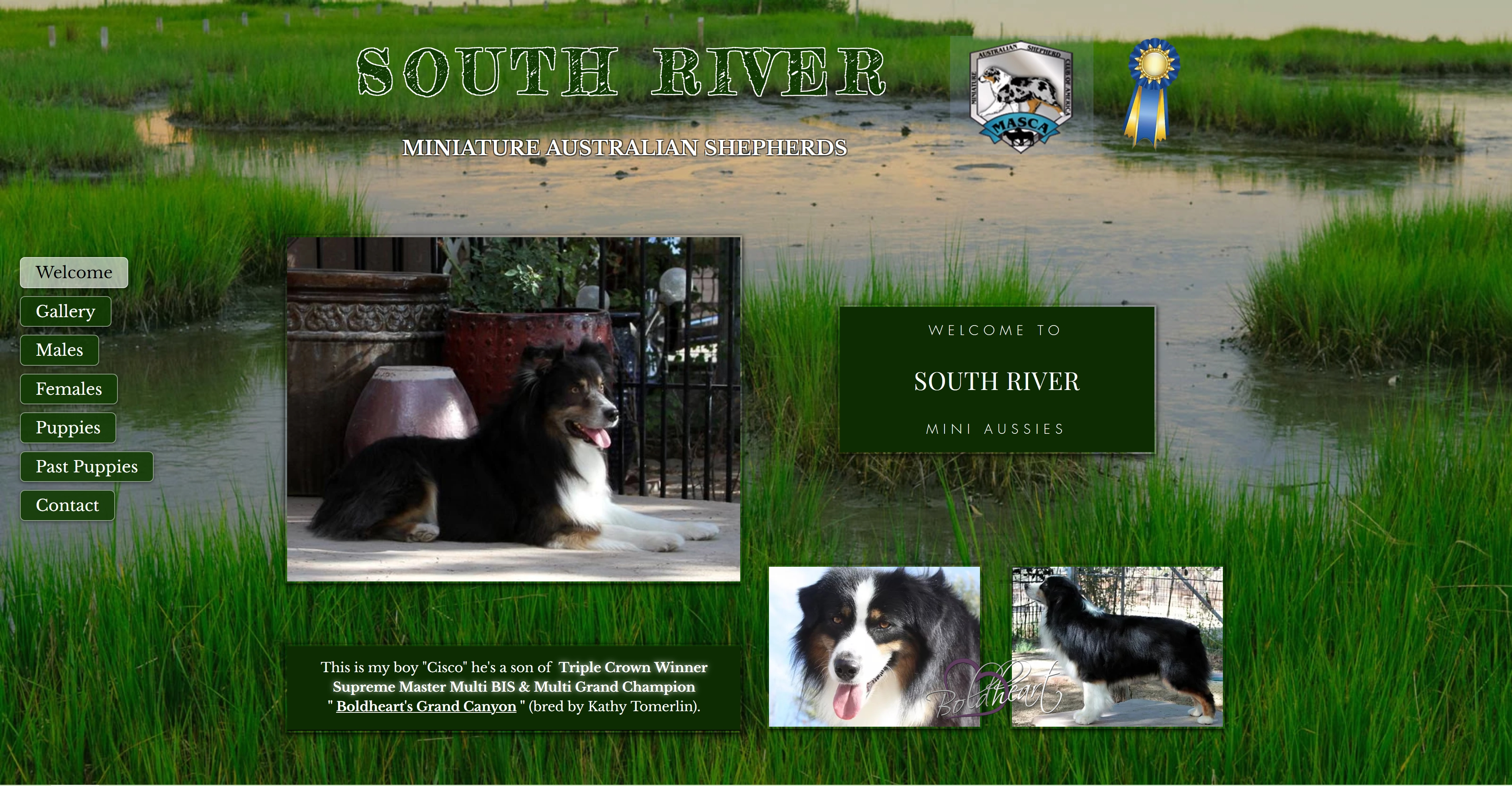 South River Mini Aussies