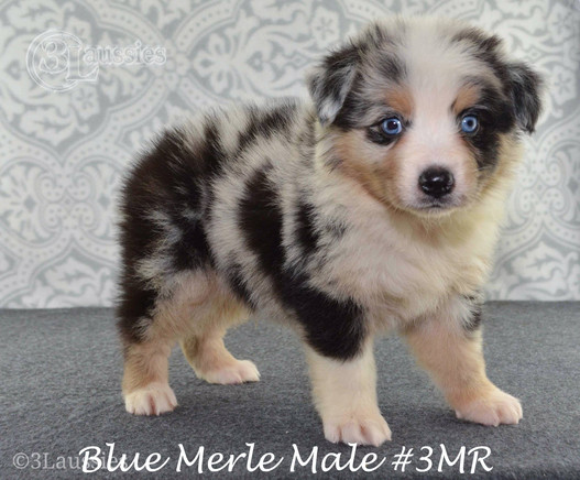"#3 Blue Merle Rüde ""Thor"""