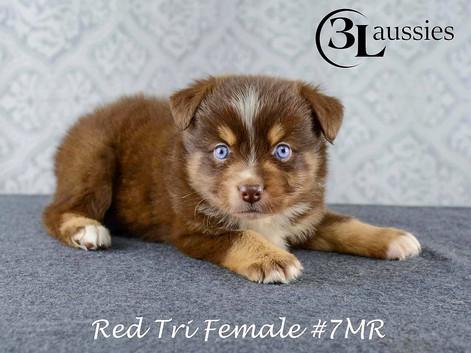 """#7 Red Tri Hündin """"Tootsie"""""""