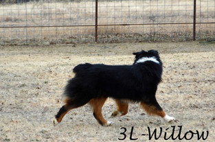 "#7 Black Tri Hündin ""Willow"""