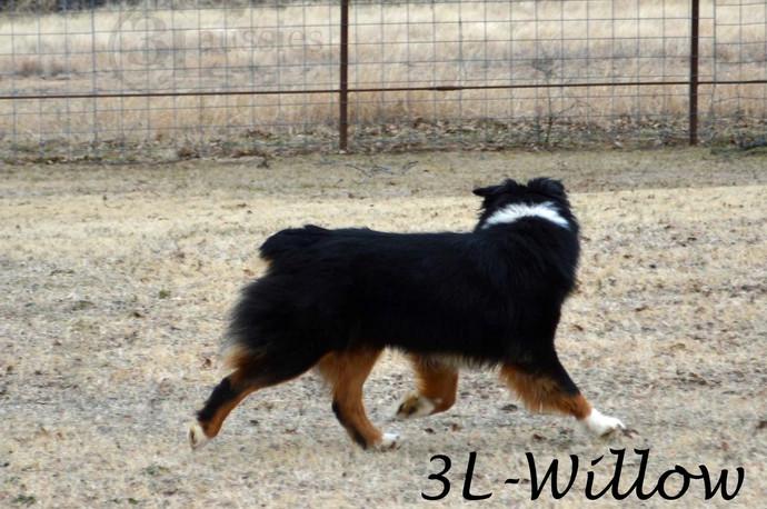 "#7 Black Tri Hündin ""Willow"""