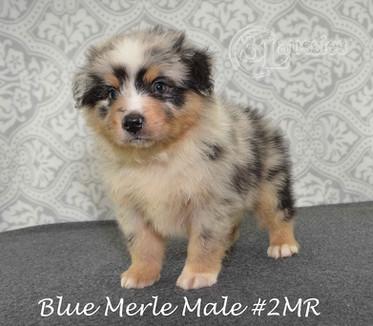 "#2 Blue Merle Rüde ""Leo"""