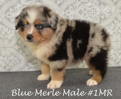 """#1 Blue Merle Rüde """"Loki"""""""