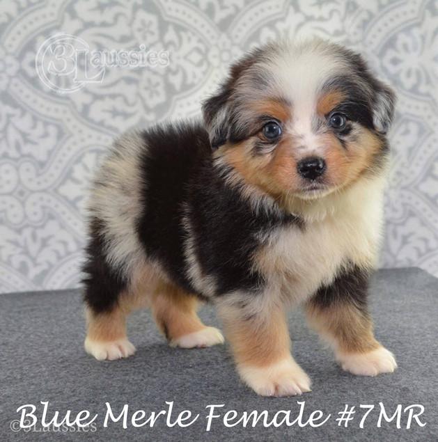 #7 Blue Merle Hündin
