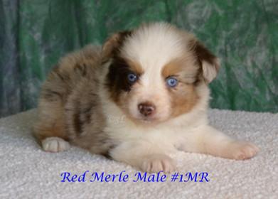 "#1 Red Merle Rüde ""Alex"""