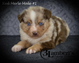 #1 Red Merle Rüde