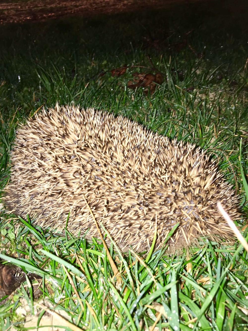 Hedgehog at Marcadis Gite