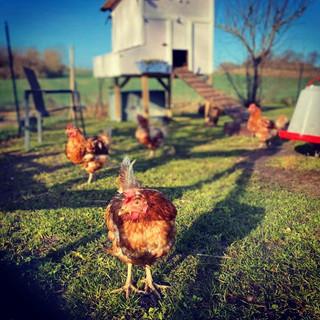 Free range chickens.jpg