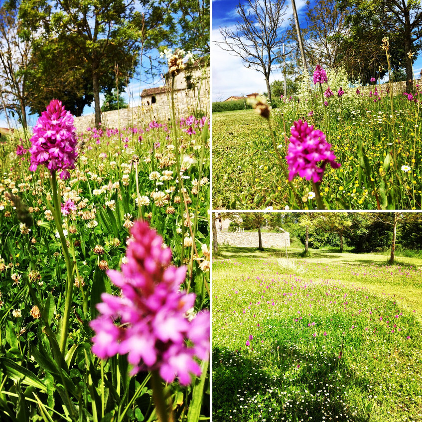Wild Orchid meadow