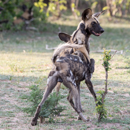 See African Wild Dogs in Zimbabwe and Help Ensure their Future!