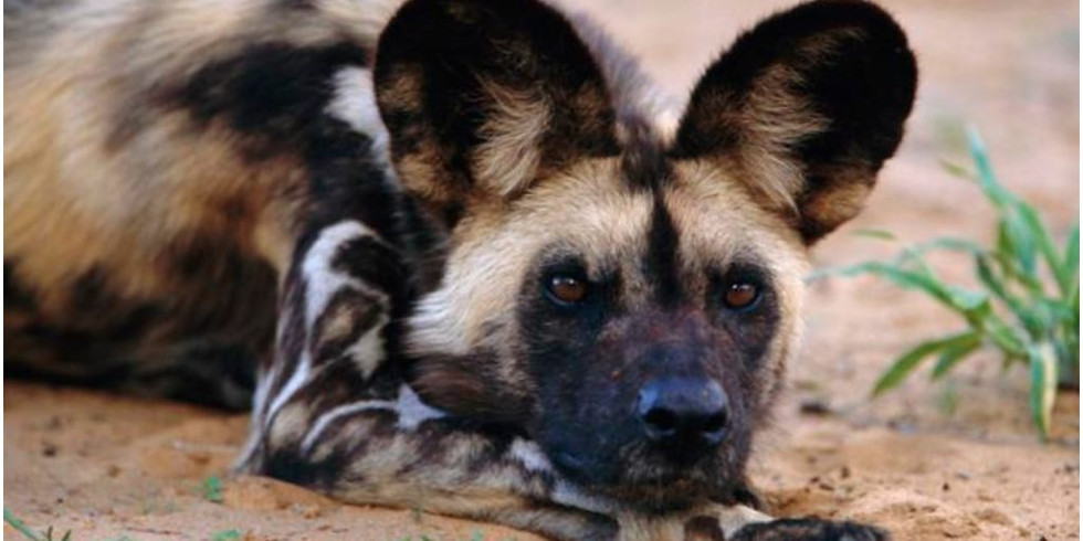 4th Annual Paint a Better Future for African Wild Dogs