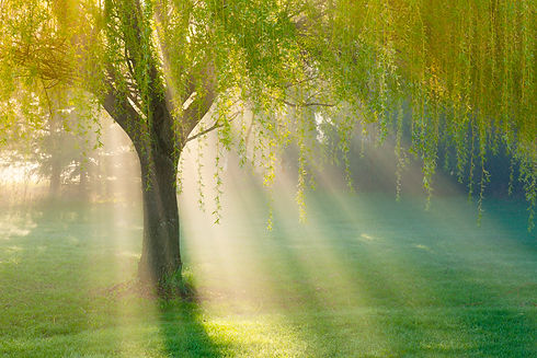 Tree in sunbeams.jpg