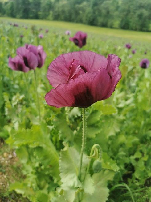 poppy-5271247_960_720.jpg