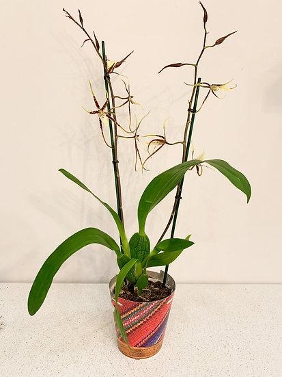 Brassia Toscane Orchidee