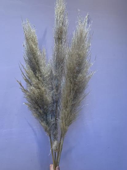 Pampaspluim - naturel
