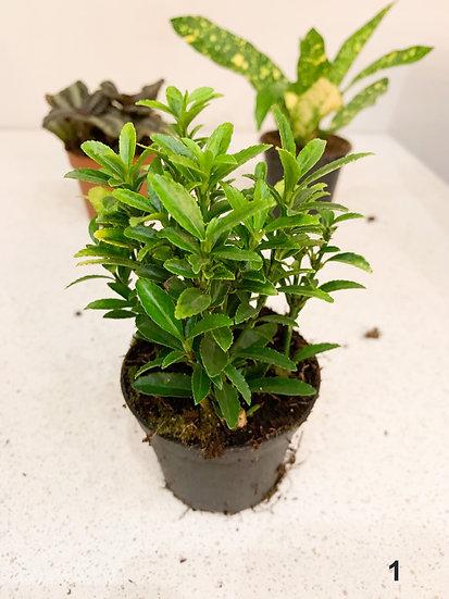 Kleine kamerplanten