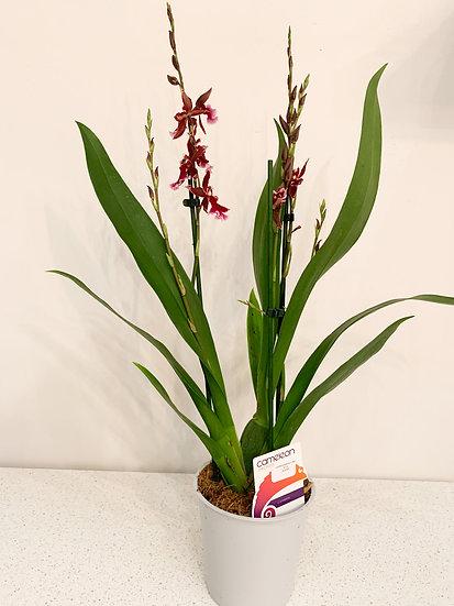 Cambria Barrocco Red Orchidee