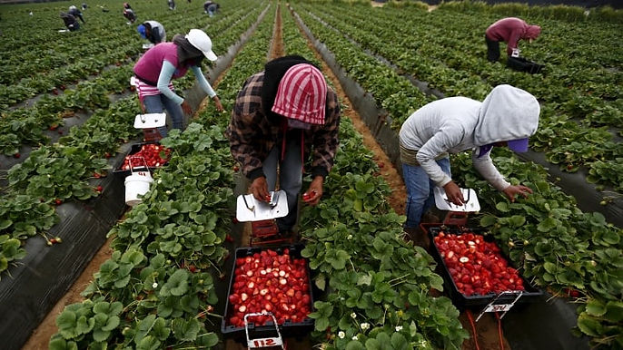 strawberry_labourers.jpg