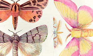 314 Rosy Maple Moth Page