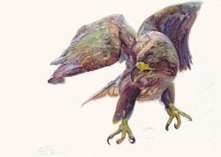134 Eagle Flying