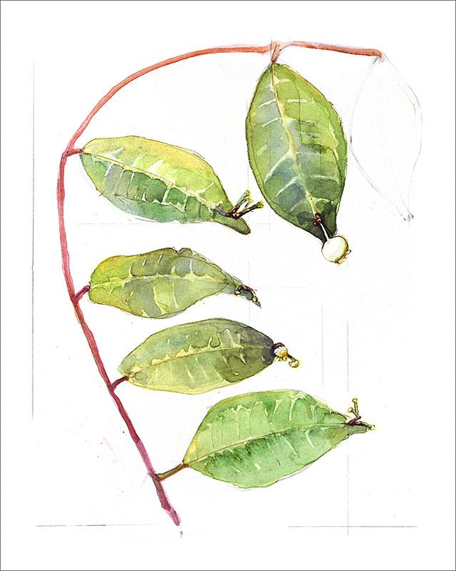 peru plant B