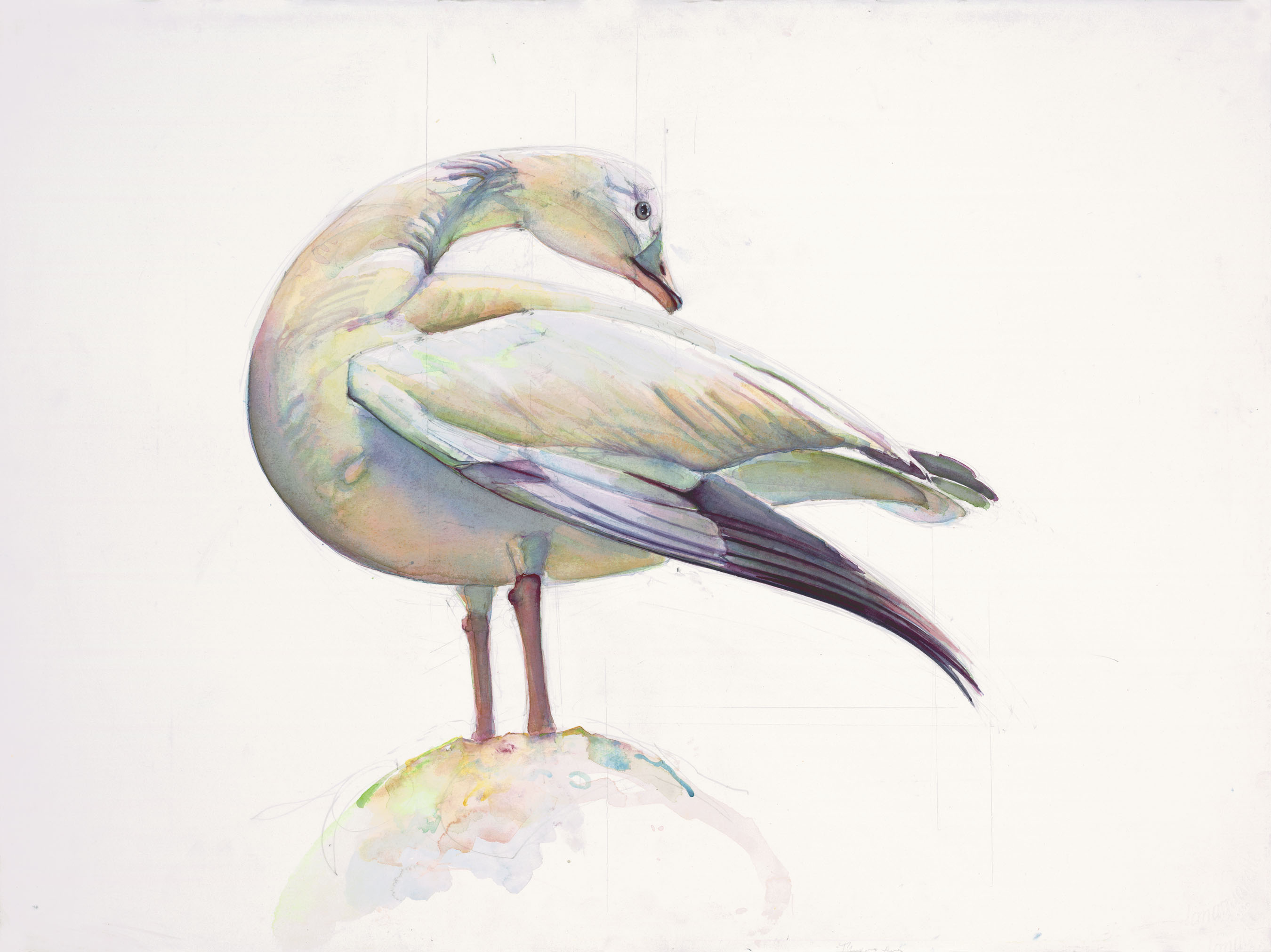 102 Ross' goose
