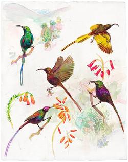 136 African Sun Birds