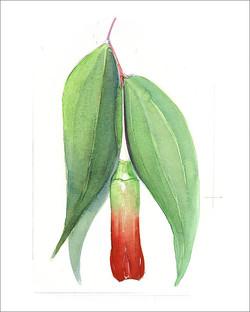 peru plant G