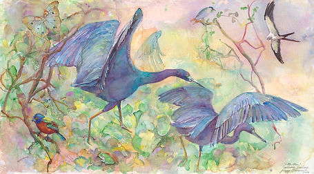 HERONS, LITTLE BLUE