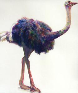 176 Ostrich