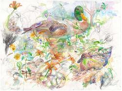 272 Male Duck
