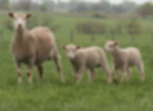 cross ewes with lamb new.jpg