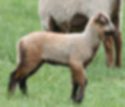 pandora ewe lamb.jpg