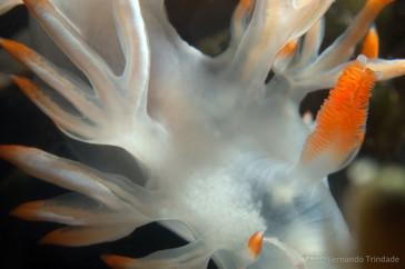 Luisella babai - Syndactilic rynophore