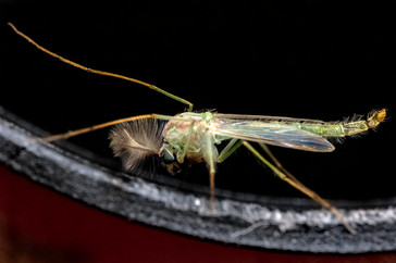 Chironomidae.jpg