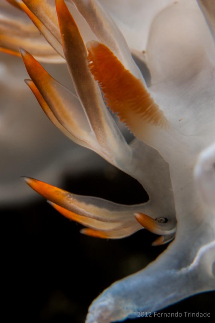 Luisella babai - Syndactilic rynophores