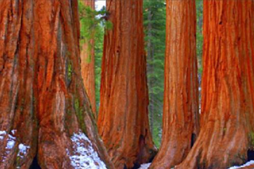 The Redwoods at Yosemite