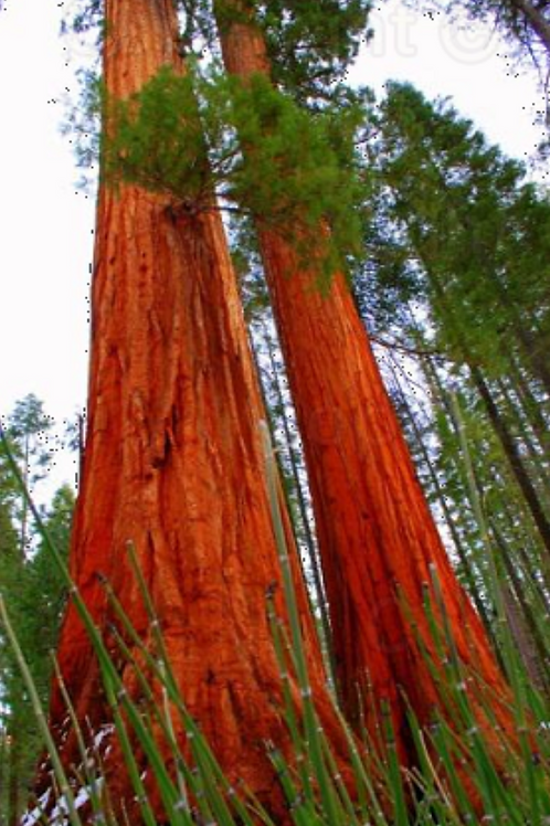 The Soaring Redwoods