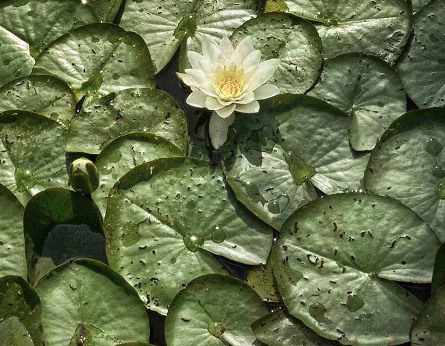 old lilies.jpg